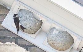 Huiszwaluw kunstnest