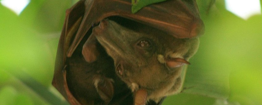 Hypsignathus monstrosus