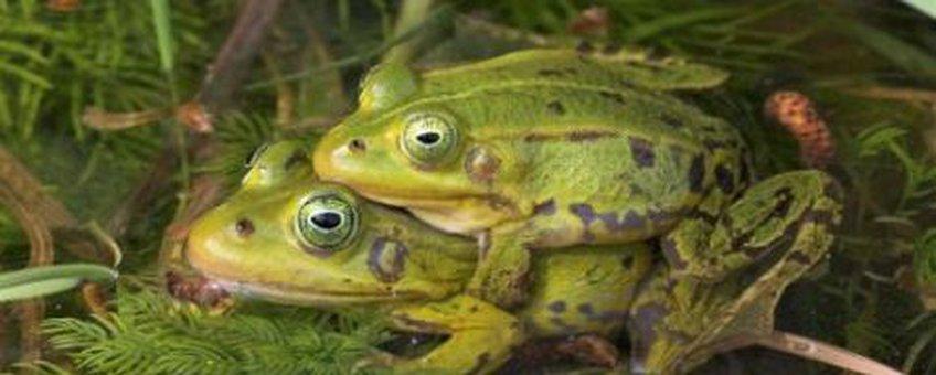 plonzenweekeinde - groene kikkers