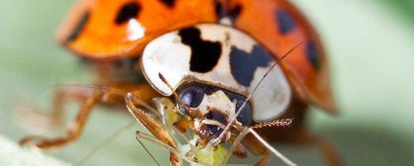 Aziatisch lieveheersbeestje, Harmonia axyridis