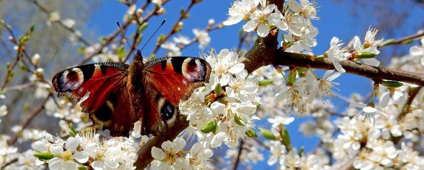 dagpauwoog voorjaar primair