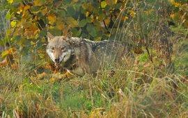 Wolf VOOR EENMALIG GEBRUIK