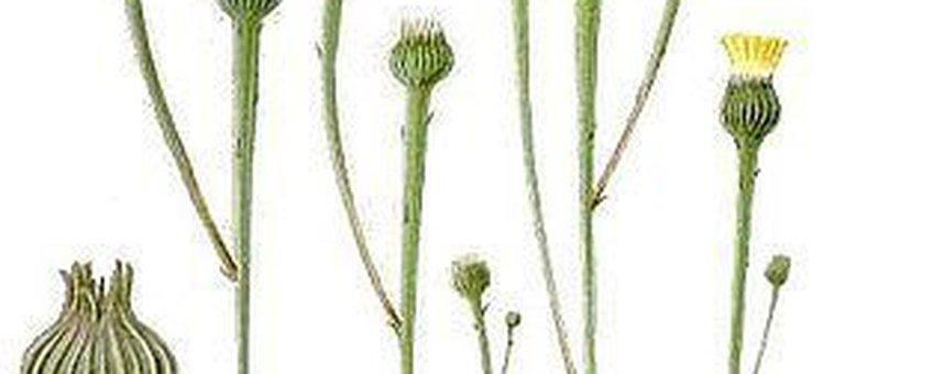 korensla thumbnail, Bilder ur Nordens Flora, Publiek Domein