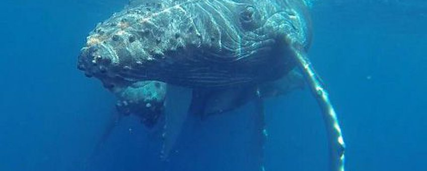 Humpback Whale mother with calf spotted in the waters around Saint-Martin