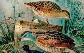 wikipedia Naturgeschichte der Vögel Mitteleuropas, Nauman