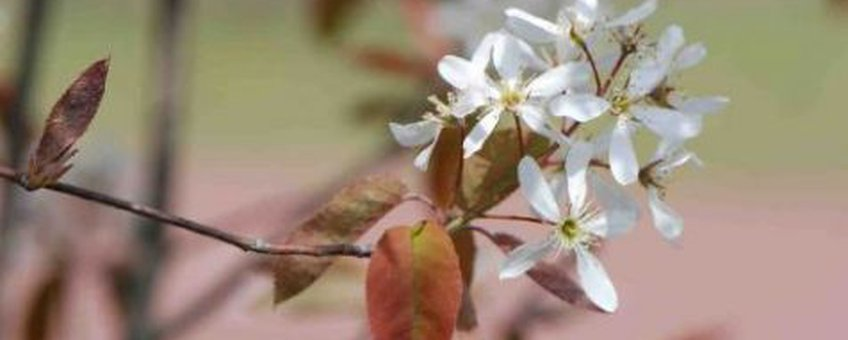 Amerikaans krentenboompje Foto Wout van der Slikke