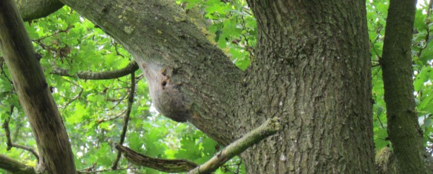 Nest met uitvlieggaten eikenprocessie vlinder