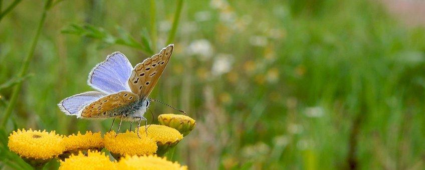 icarusblauwtje - primair