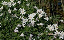 Bosanemoon bloei, Foto Arnold van Vliet
