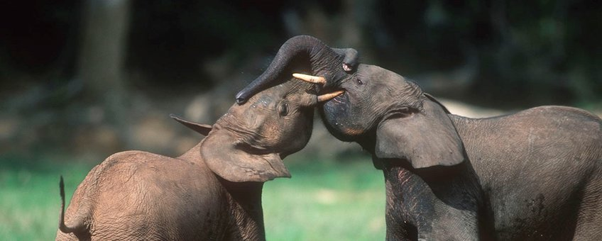 stoeiende bosolifanten
