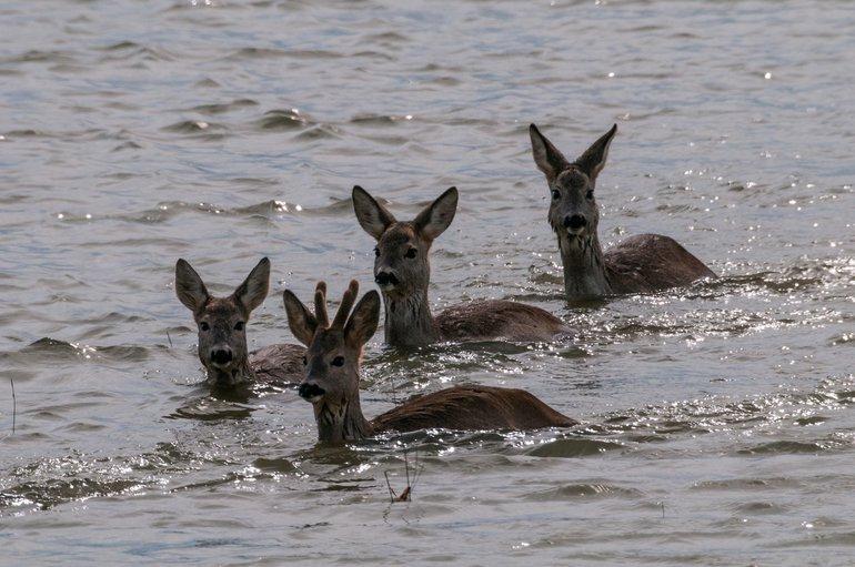 Reh im Überschwemmungsgebiet
