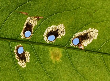 Antispilina ludwigi leafmines with caterpillars and vacated mines with holes, Rocherath, Belgium