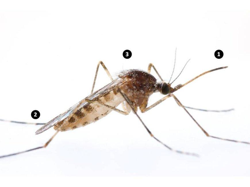 Een steekmug is te onderscheiden van andere mug- en vliegachtigen op basis van drie kenmerken