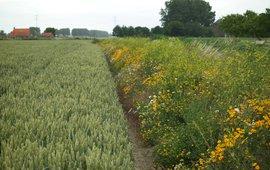 Meerjarige gras-kruidenrand langs een akker in de Hoeksche Waard, met o.a. gele kamille, margriet, citroengele honingklaver en rolklaver