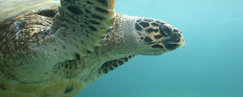 Karetschildpad. Eretmochelys imbricata