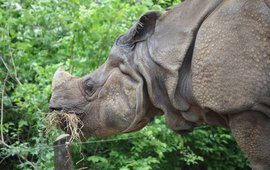 Indian rhinoceros. Rhinoceros unicornis