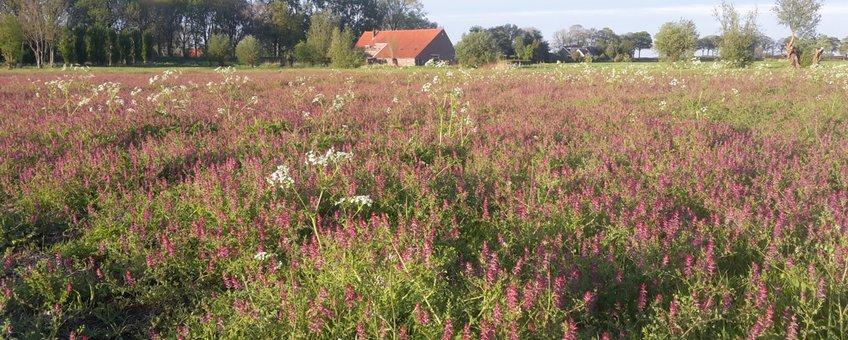 boerderij De Vlakkenburg; Zegenpolder, Buijtenland van Rhoon - op de voorgrond gewone duivenkervel