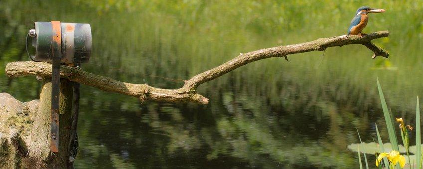 IJsvogel voor een webcam van Beleef de Lente