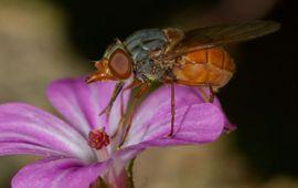 Vrouwtje rode snuitvlieg op zijn voorkeursbloem Robbertskruid