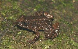 Nyctibatrachus anamallaiensis