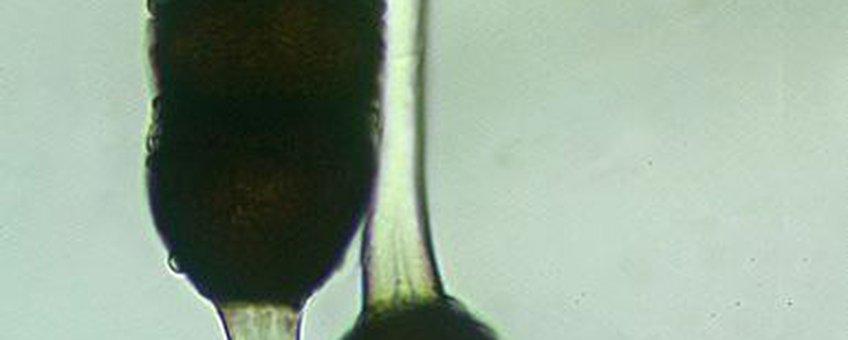 Spore van roestschimmel