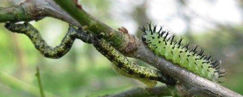 Rupsen en larve bladwesp op eikenboom
