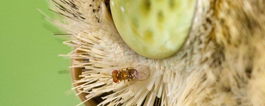 Sluipwesp Trichogramma die meelift op een groot koolwitjesvrouwtje op weg om eieren te leggen. Alleen bij bericht van het NIOO van 28-8-2012.