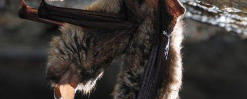 twee gekorven vleermuizen