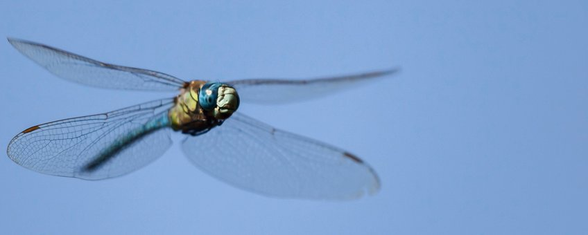 zuidelijke glazenmaker - vliegend