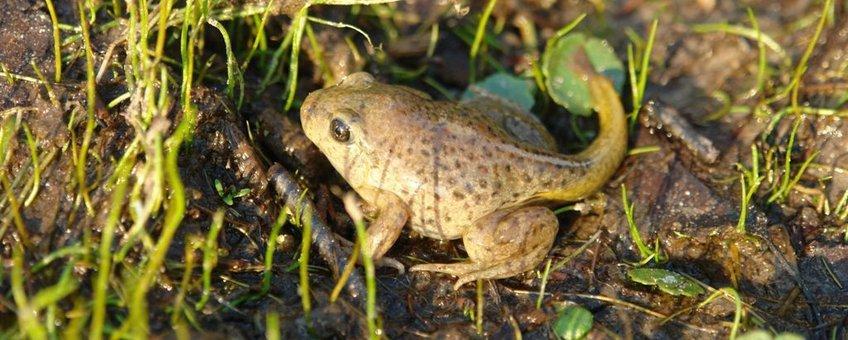 eenmalig gebruik juveniele knoflookpadden (Pelobates fuscus) die afgelopen donderdag (9 juni) door PKN i.s.m. Staatsbosbeheer in Nationaalpark de Meinweg zijn uitgezet