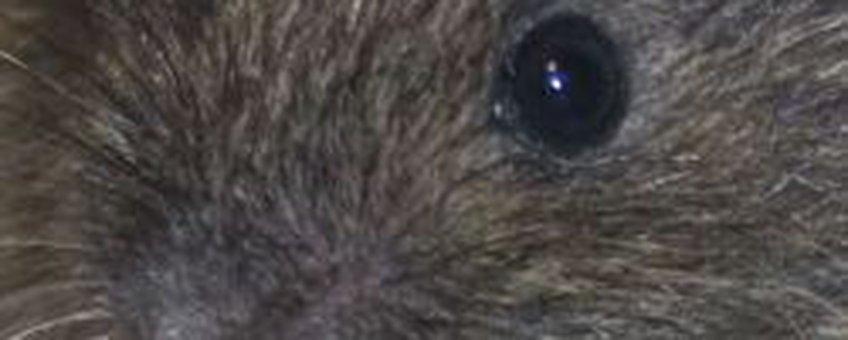 noordse woelmuis
