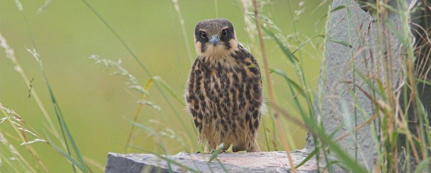 Boomvalk juvenile Saxifraga