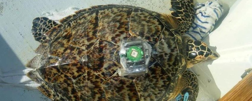 A Hawksbill turtle is equipped with a GPS tracker at Lac Bay