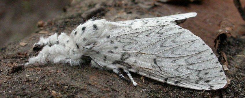 Witte hermelijnvlinder