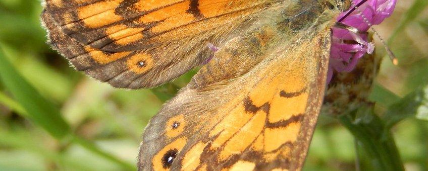 argusvlinder vrouw vierkant