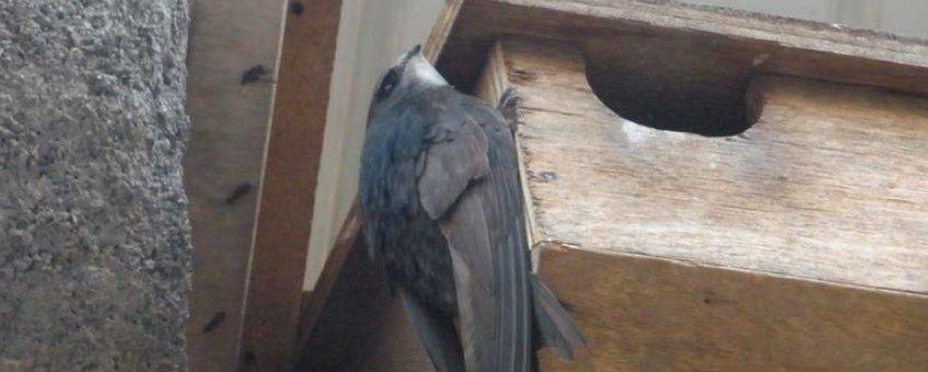 Een immature Gierzwaluw, een zogenaamde 'banger', gaat op inspectie in een Gierzwaluwkast.