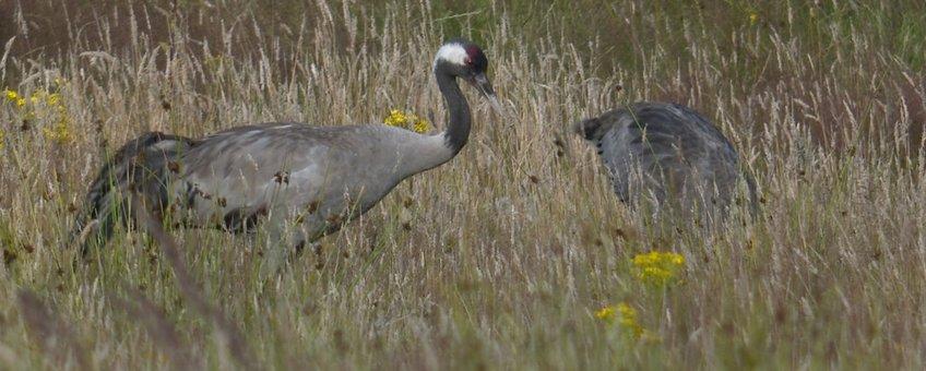 Kraanvogels in het veld