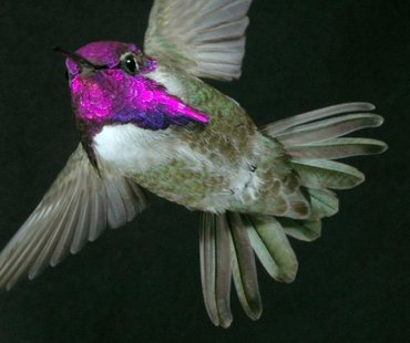 Male Costa's hummingbirds court females using a high-speed dive in which they sing with their tail feathers