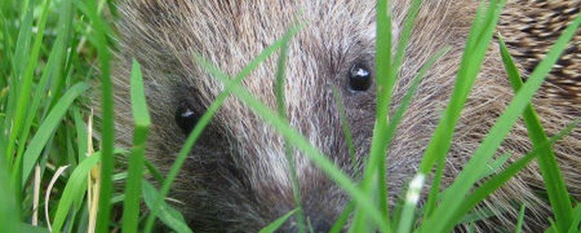 egel in het gras