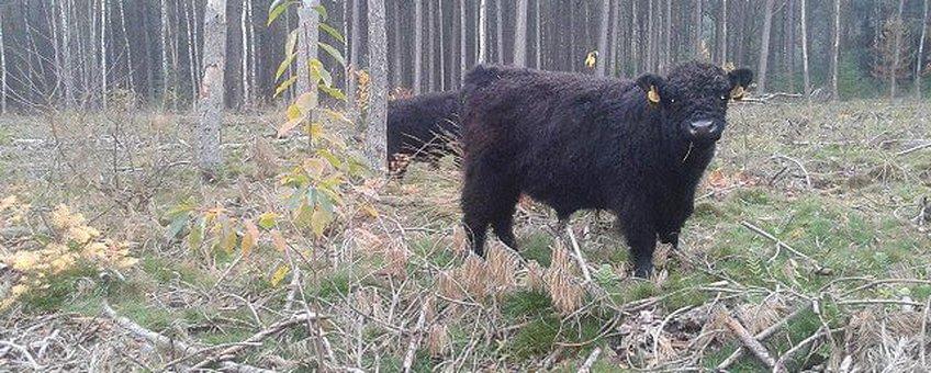 Galloways in hun winterse leefgebied in het Goois Natuurreservaat
