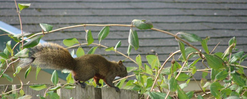 Pallas' eekhoorn voor eenmalig gebruik