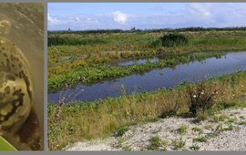 Links: Ovale poelslak gevonden op het hoofdeiland van de Marker Wadden. Rechts: een van de vele watertjes op het hoofdeiland; ondiep met al dan niet zandige bodem, geschikt voor zoetwaterslakken. De vegetatie rondom is zeker geschikt voor landslakken... alleen zitten die er (nog) niet