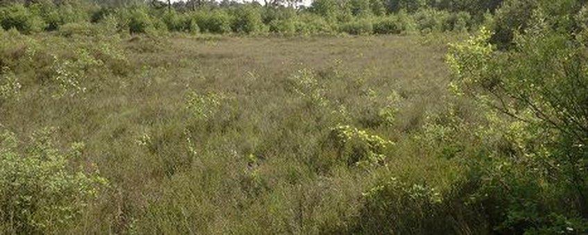 Vochtige heide in Boswachterij Appelscha, vindplaats van drie van de vijf nieuwe soorten springstaarten