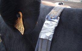 Sterke neodymiummagneet aan de kraag van een koe