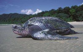 Lederschildpad op tropisch legstrand (de Nicobaren)