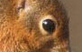eekhoorn ROLLIN VERLINDE uitsnede2