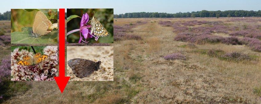 achteruitgang vlinders primair