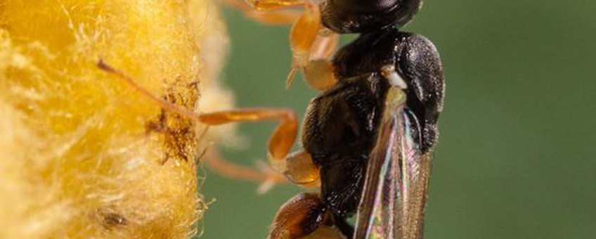 Eenmalig gebruik. Lysibia nana parasiteert poppen van Cotesia glomerata (Nina Fatouros, www.bugsinthepicture.com)
