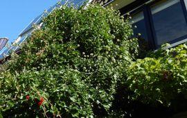 boomblauwtje klimop - primair