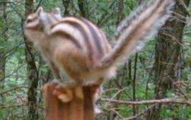 Syberische grondeekhoorn. Cameraval Zoogdiervereniging
